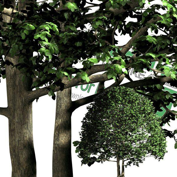 درخت پهن برگ PNG