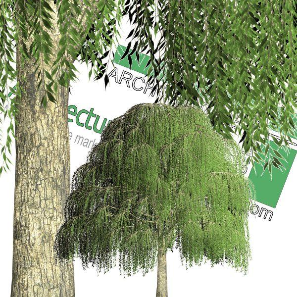 درخت بید مجنون PNG