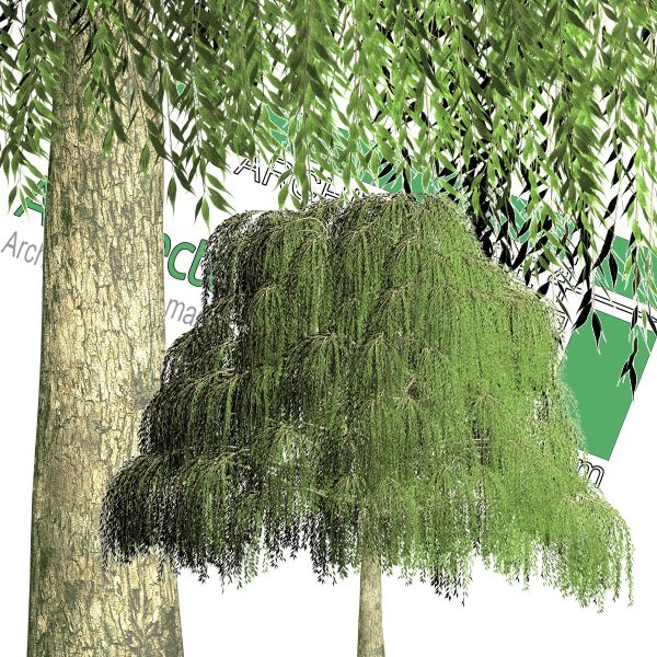 درخت PNG بید مجنون