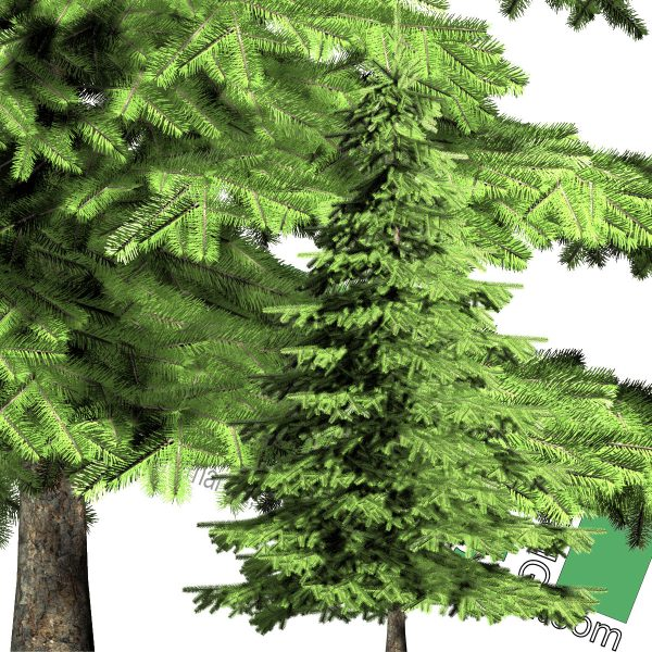 درخت کاج PNG رزولوشن بالا