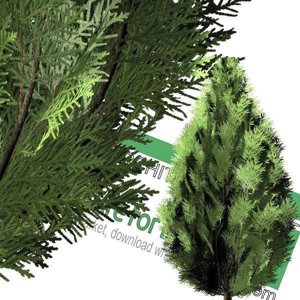 درخت سرو با فرمت PNG
